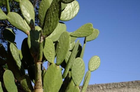 Mature nopal is an attractive landscape plant.