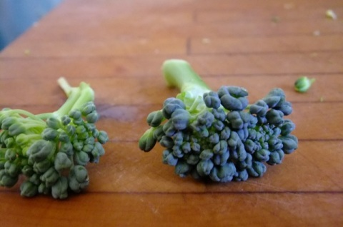 Mature broccoli on right has dark green color. Uneven beads are caused by heat stress.