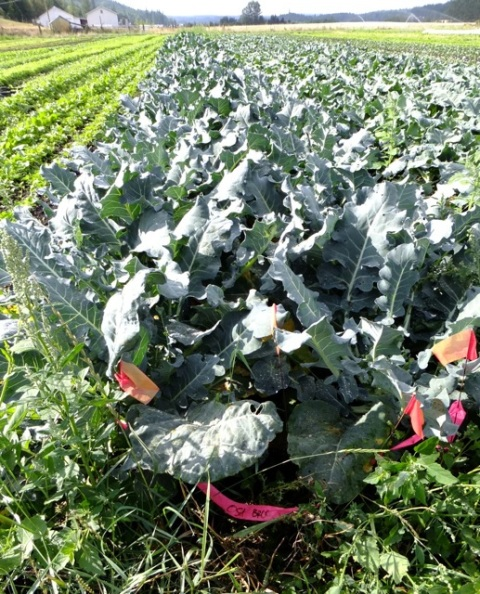 NOVIC Broccoli Field Trials at Red Dog Farm, Chimacum Washington