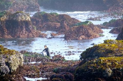 Seaweed Harvest Mendocino Coast