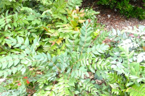 Leathery leaves of Oregon Grape reduce water loss