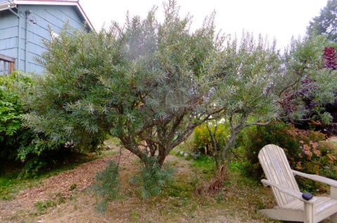 Sea Buckthorn trees at Ilana Smith's in Port Townsend (note female tree on left)